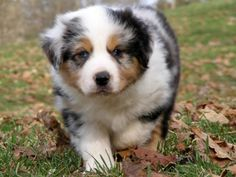Aussie Puppies are one of the Cutest dogs ever!!