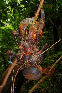 The Coconut Crab or Uga in Niue. A Island Delicacy - Super Delicious but not something you want to mess with.    photo by David Lansing