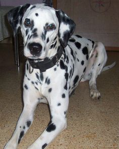 191 Best Dalmatian Images On Pinterest Cute Dogs Cutest Animals