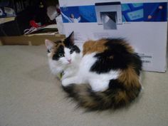 Long Hair Calico Polydactyl.  Similar to Mom's cat.