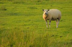 Sheep_ Amsterdam, The Netherlands