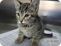 3/1/17 URGENT! Fort Lauderdale, FL - Domestic Mediumhair. Meet A1876403, a kitten for adoption. Broward County Animal Care & Adoption Pet ID #: 11121448-A1876403 Phone: (954) 359-1313  http://www.adoptapet.com/pet/17669732-fort-lauderdale-florida-kitten