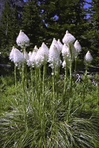 Xerophyllum Flower   Xerophyllum tenax (Pursh) Nutt.