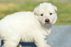 White long coat German Shepherd puppy. #OlympusGermanShepherdDogs