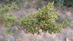 Salsola Aphylla          Lye Ganna            4 m           103,3