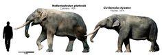 El último trabajo que hice este año, una comparación de los extintos proboscídeos de América tropical, Notiomastodon platensis y Cuvieronius hyodon, foto manipulación....
