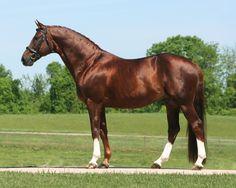 Don Hill (Don Gregory-Hill Hawk xx) 1998 Hanoverian Stallion #HTFstallion