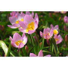Tulpen Lilac Wonder 10 stuks - afbeelding 4