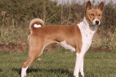 Basenji @luv4tatts They don't shed or bark but make a very low growl and they clean themselves like cats so require very little grooming (hint hint )