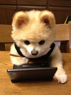 Pomeranian, Shunsuke 俊介君 playing computer games