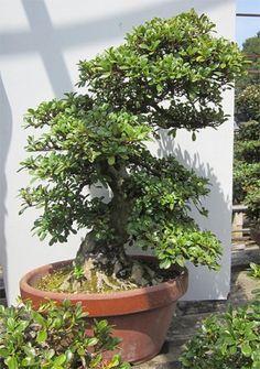 Rhododendron indicum 1