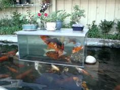 Koi fish play in bottomless fish tank