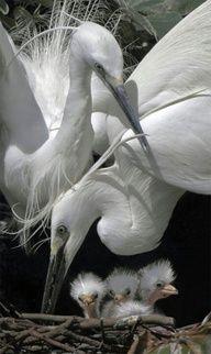 white herons and chicks.
