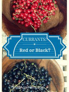 Growing CURRANTS red or black Currant Bush, Currant Berry, Black Currant Plant, Growing Ginger Indoors, Growing Greens, Fruit Garden, Edible Garden, Herbs Garden, Currant Recipes