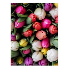 Tulip Flowers Bright Pink White Orange Colorful Sp Postcard - postcard post card postcards unique diy cyo customize personalize