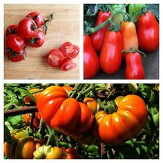"""Italy is one of the biggest consumers of pomodori.  We always have multiple tomatoes in the fridge. One option is the """"Ciliegini"""" type: they are small and grow in clusters; perfect in summer for salads and cold pasta. """"San Marzano"""" tomatoes have an elongated shape and are perfect for salsa and intricate recipes. """"Cuore di Bue"""" (meaning """"Ox Heart"""" for their shape) have an aromatic pulp and are perfect for salads."""