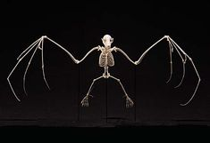 Fruit bat skeleton  =