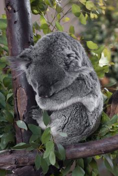 Cute Koala Bear. It's sleeping! Cute Koala Bear, Sloth Bear, Koala Bears, Baby Koala, Koala Meme, The Wombats, Action Verbs, Australia Animals, Super Cute Animals
