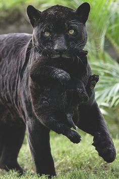 PANTHER MOM and CUB