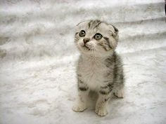 Drôle de tête ce chaton !!!Scottish Folds