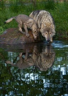 Mother Wolf and Her Pup Getting a Drink of Water. Beautiful Wolves, Animals Beautiful, Cute Animals, Wild Animals, Baby Animals, Wolf Spirit, Spirit Animal, Wolf Pictures, Animal Pictures