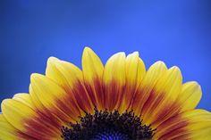 Half of a sunflower against a blue sky.