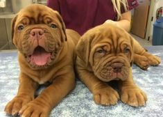 Cute pair of Little Baby French Mastiff Puppies