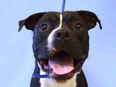 PULLED BY REBOUND HOUNDS RESQ - 07/31/15 - TO BE DESTROYED - 07/31/15 - ROCKY – #A1045400 - Urgent Manhattan - MALE BLACK AND WHITE PIT BULL MIX, 2 Yrs - OWNER SUR - EVALUATE, NO HOLD Reason PERS PROB - Intake Date 07/25/15