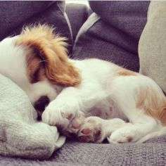 Cavalier King Charles spaniel ~ sleeping puppy: @KaufmannsPuppy