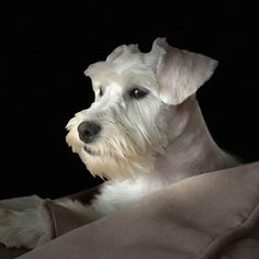 """Fantastic """"schnauzer dog"""" info is offered on our website. Check it out and you will not be sorry you did. Black Schnauzer, Schnauzer Breed, Miniature Schnauzer Puppies, Schnauzers, Schnauzer Cut, Silly Dogs, Most Popular Dog Breeds, Yorkshire Terrier Puppies, Puppy Care"""