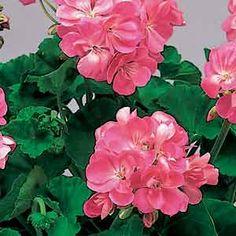 Photo of Geranium Flowers  in pots | Pot Geranium (Pink)
