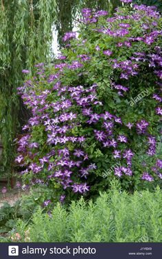 CLEMATIS VENOSA VIOLACEA Stock Photo Clematis, Garden Ideas, Gardens, Stock Photos, Illustration, Plants, Image, Illustrations, Landscaping Ideas