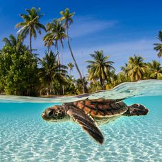 Here's a turtle. Because who doesn't love a picture of a turtle? Sea Turtle Pictures, Cute Animal Pictures, Baby Sea Turtles, Cute Turtles, Under The Water, Under The Sea, Ocean Creatures, Cute Little Animals, Underwater Photography