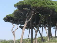 Pini mediterranei