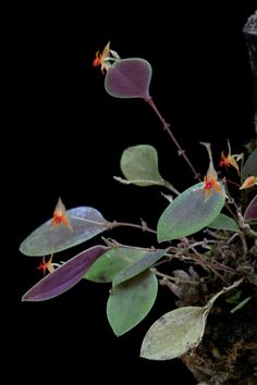 Lepanthes falx bellica Growing Orchids, Miniature Gardens, Orchid Flowers, Lilies, Mushrooms, Roses, Miniatures, Warm, Beautiful