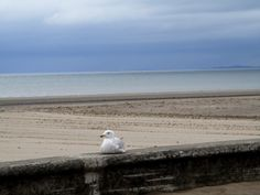 "This gull looks out, over the Irish Sea, from it's wall on the promenade at Ayr. If we take the time to look around us, rather than keep our eyes directed downward at our path, we see the tell tale signs and there is ""no mistaking"" where we are. Irish Sea, Ireland Landscape, Gull, Paths, Eyes, Signs, Beach, Outdoor, Outdoors"