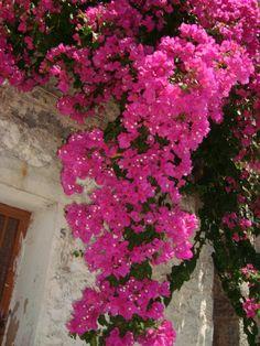 Buganvillas in Chios Island, Greece