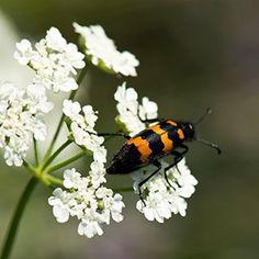Leptura sur une fleur de coriandre