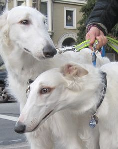 ROMAN & GENESIS Roman and Genesis are Borzoi twins. Both were wearing crystal collars. They don't bark.