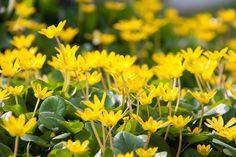orsej je jarní půdopokryvná rostlina Plants, Plant, Planets