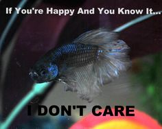 If You're Happy and You Know it...I Don't Care! #bettafish #betta #funnybetta #funnyfish #funnypictures