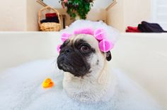Save on full grooming for s-m-l dogs at Fur Kids Daycare/Grooming [deal ends: MST] Pugs, Homemade Dog Shampoo, Pug Love, Pet Grooming, Dog Care, Best Dogs, Your Pet, Cute Dogs, Cute Animals