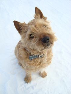 Rusken the cairn terrier taking a hike in the snow.