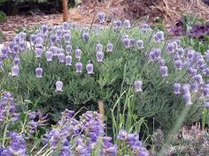 Not a climber - interesting. Xeriscape Plants, Garden Plants, Flora Flowers, Blue Flowers, Garden Mum, Long Blooming Perennials, Small Shrubs, Clematis Vine, Climbing Vines
