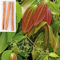 Cinnamon Full or partial sun, grows to 3-6' in container, minimum temperature indoors 60°Cinnamon...bark is taken mature trees in strips to make spice...  (Cinnamomum zeylanicum)