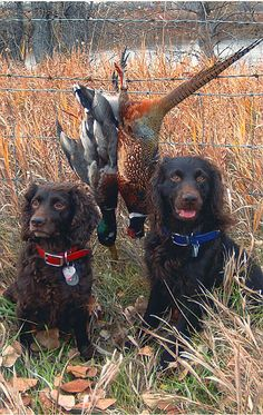 www.pinterest.com/1895gunner/ | The Boykin Spaniel is a highly versatile hunting dog with a big heart and light spirit.