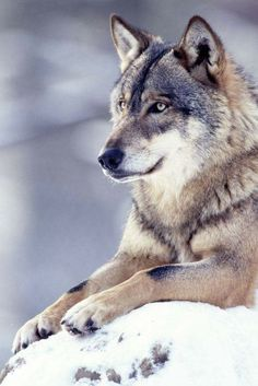 Looks a lot like my Kodiak which is a wolf hybrid. Wolf Photos, Wolf Pictures, Animal Pictures, Beautiful Creatures, Animals Beautiful, Cute Animals, Wild Animals, Wolf Spirit, My Spirit Animal