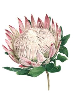 Red Protea Flower On White Background Protea Flower, Painting Flowers, Floral Watercolor, Free Photos, Birthday Cards, Art Projects, Photo Editing, Photoshop, Printables