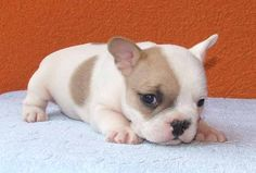 frenchie pup <3 i wanttt