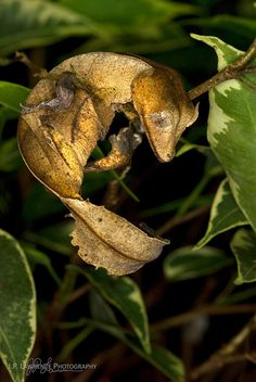 Satanic Leaf-Tailed Gecko | Flickr - Photo Sharing!